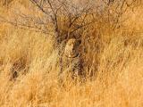 草丛中的豹子