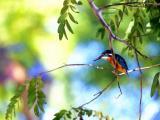树枝上的翠鸟