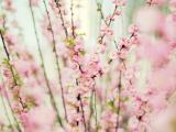 美丽盛开的桃花