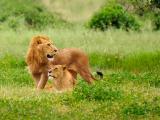 百兽之王狮子