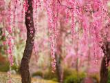 盛开的美丽桃花