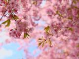灿烂的樱花