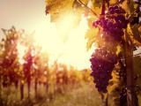 阳光下成熟的葡萄