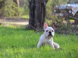草地上玩耍的斗牛犬