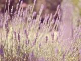盛开的美丽薰衣草