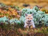 可爱小狐狸