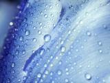 蓝色花瓣上的水珠