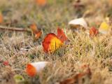 草丛里的银杏叶