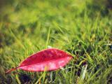 飘落的红叶