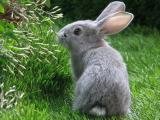 可爱小灰兔