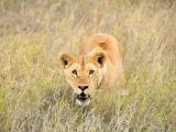 野生动物狮子