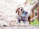樱花下的小狗