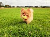 草地玩耍的博美犬