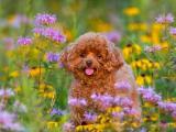 花丛中的泰迪