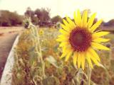 拥有小太阳的向日葵