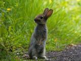 站立的小灰兔
