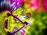 花丛里的小小瓢虫