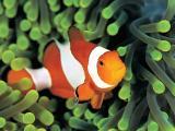 畅游海底的小丑鱼