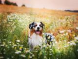 可爱澳洲牧羊犬