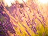 阳光下的唯美薰衣草