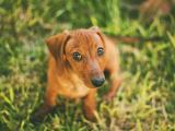 可爱腊肠犬