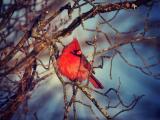 树枝上的红衣主教鸟