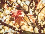 秋天的枫树叶