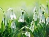 白色雪滴花