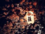 樱花中的灯笼