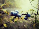 清晨的蓝莓