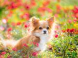 花丛中的蝴蝶犬