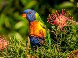 可爱的彩色鹦鹉