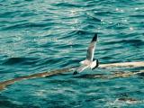 空中飞翔的海鸥