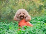三叶草中的泰迪犬
