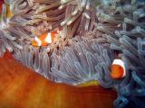 深海中的美丽小丑鱼
