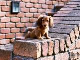 小小腊肠犬