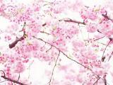 盛开的美丽樱花