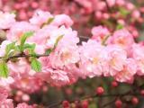 漂亮的粉色桃花