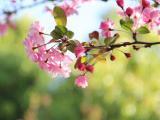 春天里的海棠花
