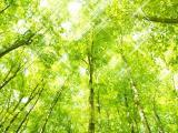 绿葱葱山毛榉树林