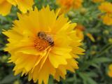 重瓣金鸡菊上的蜜蜂