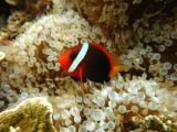 海中精灵小丑鱼