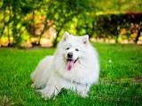 草地上的萨摩耶犬