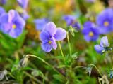 漂亮的蝴蝶花