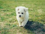 草地上的白色小狗