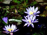埃及蓝睡莲