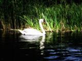 湖中的白天鹅
