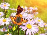 雏菊上的蝴蝶