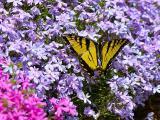 福禄考上的蝴蝶