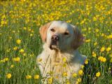 花丛中的拉布拉多犬